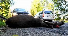 Wildunfälle im Strassenverkehr